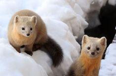 The sable (Martes zibellina) is a species of marten Animals Images, Animals And Pets, Baby Animals, Cute Animals, Cute Animal Photos, Cute Pictures, Beautiful Creatures, Animals Beautiful, Pine Marten