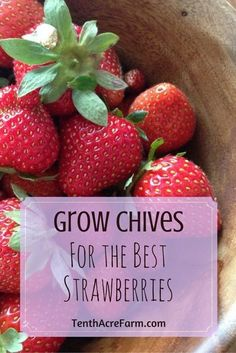 Organic Gardening Supplies Needed For Newbies Strawberries Are A Favorite In The Garden. To Grow Your Best Strawberries, Use Herbs Like Comfrey And Chives To Fertilize And Deter Pests. Strawberry Garden, Strawberry Plants, Fruit Garden, Edible Garden, Grow Strawberries, Strawberry Beds, Strawberry Fertilizer, Strawberry Companion Plants, Strawberry Patch