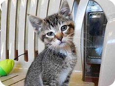 Domestic Mediumhair Kitten for adoption in Santa Rosa, California - *AMY