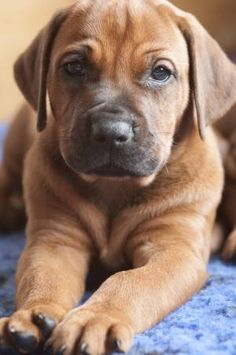 Rhodesian ridgeback   ...........click here to find out more…