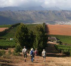 A vineyard stroll through the Schapenberg