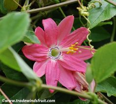 Banana Passion Fruit - Passiflora mollissima - More cold tolerant than Passiflora edulis and with edible fruits.