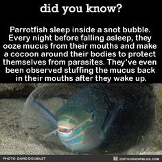 Parrotfish sleep inside a snot bubble. Every night before falling asleep, they ooze mucous from their mouths and make a cocoon around their bodies to protect themselves from parasites. They've even been observed stuffing the mucous back in their...