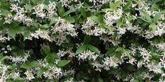 Το ρυγχόσπερμο αποτελεί ιδανική επιλογή για φράκτες, καθώς δεν παρουσιάζει προβλήματα από ασθένειες και θέλει μικρή φροντίδα σε κλάδεμα και πότισμα. Propagation, Bouquet, Home And Garden, Herbs, Nature, Flowers, Plants, Outdoor, Gardening