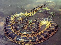 The Biggest Anaconda In The World. The green anaconda is the largest snake in the world. Although famous, very little is known about its life history. Giant Anaconda, Anaconda Snake, Green Anaconda, Anaconda Verde, Kinds Of Snakes, All About Snakes, Beautiful Snakes, Animals Beautiful, Savages