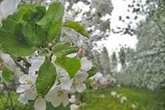 Malminkartanon omenatarha kukassa | Helsingin kaupunki