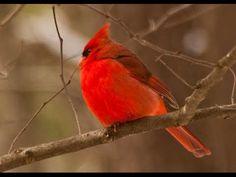 Beautiful natural singing of birds| Northern Cardinal Bird