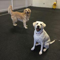 Luna & Charlotte!! #gymbuddies #dogs #goldenretriever #labrador #instagood #instadaily #petsofinstagram #lalife