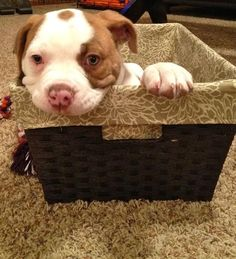 Layla the American Bulldog | DailyPuppy