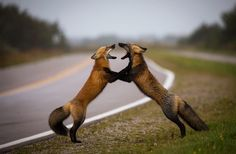 """Fox Tango."" Two sibling foxes have a little squabble / 2016 National Geographic Nature Photographer of the Year Contest, Part II / The atlantic"