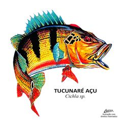 peixe_tucunare_acu Usa Fishing, Fishing Girls, Fish Mounts, Peacock Bass, Fish Graphic, Fish Drawings, Fish Man, Types Of Fish, Fish Print
