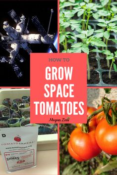 If you haven't heard me say it before, it is worth repeating that literally EVERYTHING can be taught in a school garden! And that includes abstract and complex topics like the extreme environment of outer space, along with how our survival as a species depends on interplanetary space travel! #schoolgarden #spacetomatoes #tomatosphere #gardeningwithkids #tomatoes #garden School Gardens, Paper Pot, Seed Packaging, Seed Germination, Tomato Seeds, Garden Journal, Plastic Pots, Seed Starting, Space Travel