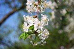 Cherry Blossoms. Spring in a garden