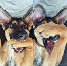 When your human flails around on the ice, and you try so hard not to laugh...but you laugh. #funny #dogs #germanshepherd #gsd