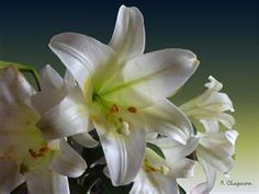 white lily.. my absolute favorite flower