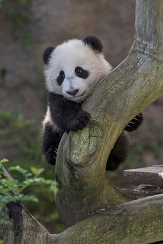 Tree Hugger by Official San Diego Zoo, via Flickr. @sandiegozoo 's #pandacub Xiao Liwu, my current obsession.