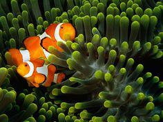Clown Anemonefish, Indonesia  Photograph by Tim Laman, National Geographic    This Month in Photo of the Day: Photos From New National Geographic Books    Clown anemonefish nestle amid the tentacles of a sea anemone off the Tukangbesi Islands in Indonesia. The clear waters surrounding coral reefs have encouraged the evolution of color and pattern among the inhabitants.    (From the upcoming National Geographic book Visions of Earth)