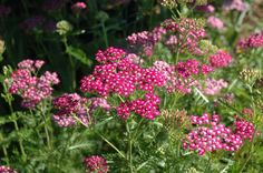 fire king yarrow - thrives in poor soil and hot sun. Perfect!