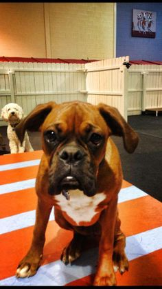 It's Roscoe the Boxer pup from Sterling, VA taking a rare break from doggy day care play INDOORS, where its 70 degrees warmer than OUTDOORS. BRRRRR. www.HealthyHoundPlayground.com