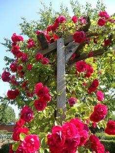 """Roseiras: """"Rosas variedade trepadeiras""""                                                                                                                                                      Mais"""