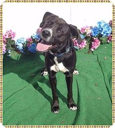 Pictures of SCOUT a Labrador Retriever Mix for adoption in Marietta, GA who needs a loving home.