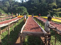 Ever wonder how coffee makes it's way to your cup, well wonder no longer as we take you on a journey through the coffee production cycle.