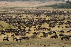 The Great Wildebeest Migration of East Africa