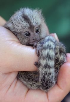 This baby marmoset senses that your computer screen is getting increasingly smudged with want-to-pets.