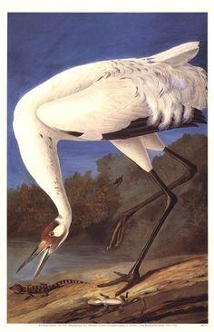 Whooping Crane by John J. Audubon
