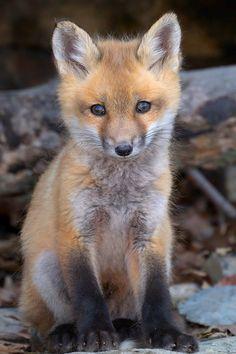 "wondrousworld: "" Fox Pup by Eric Begin """