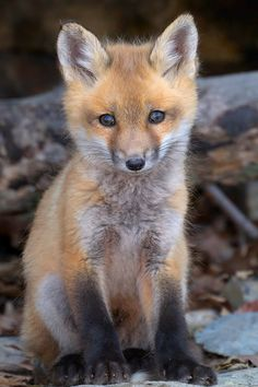 "wondrousworld: "" Fox Pup by Eric Begin """