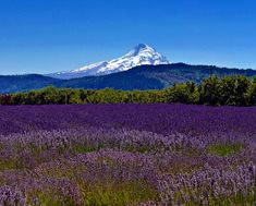 Lavender Valley, Hood River, Oregon, United States of America Oregon Trail, State Of Oregon, Oregon Coast, Oregon Utah, Beautiful World, Beautiful Places, Amazing Places, Places To Travel, Places To See