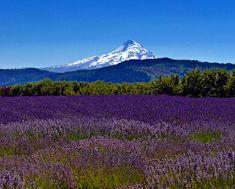 Lavender Valley, Hood River, Oregon