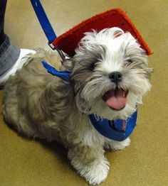 My 3 1/2 month old shih tzu/Maltese, Gizmo, graduated puppy kindergarten on 2/18/13.