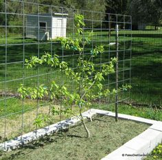 Espalier pear tree attached to a trellis made from a livestock panel