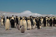 Vistos do espaço: satélites descobrem 11 colônias de pinguins na Antártica - GreenMe.com.br Skewer Recipes, Penguins, Barbecue, Health Recipes, Vegetarian, Animais