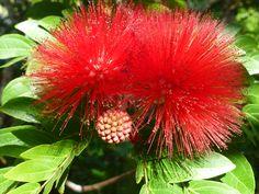 Calliandra.  Blushing Pixie or Pom Pom Bush.