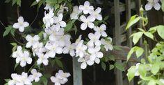 Masquer la grille du balcon, escalader une clôture, garnir un treillage ou une pergola...  Les plantes à croissance rapide n'attendent que ça! Et il n'est pas trop tard pour installer ces volubiles floraisons estivales.