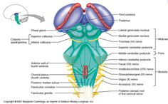 A. Pons 1. Delayed pharyngeal swallow 2. Reduced hyolaryngeal excursion with cricopharyngeal dysfunction. B. Medulla 1. Absent pharyngeal swallow 2. Reduced hyolaryngeal excursion 3. Unilateral vocal fold paresis/paralysis