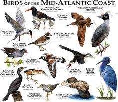 Birds of the Mid-Atlantic Coast by rogerdhall on DeviantArt