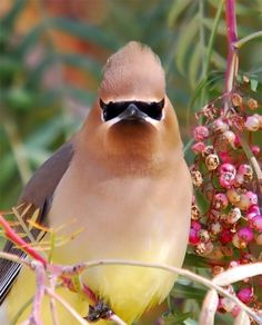 Cedar Waxwing - a beautiful bird. They make a pretty chirping noise. They are usually found in small flocks. There have been a flock of them for a week or so in my Mulberry tree having a feast on the berries.