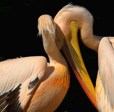Visit the pelicans on the Juno Beach Pier