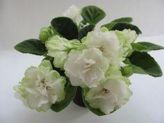 African Violet Saintpaulia Irish Glen Starter Plant | eBay