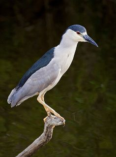Black-Crowned Night Heron Fishing (Nycticorax nycticorax), Everglades National Park, Florida