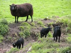 Welsh Mountain sheep. Licorice color Serendipity Patch
