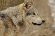 Wolves, grey to brown to black colored by windfuchs on DeviantArt Gray Wolf, Grey, Husky, Deviantart, Stock Photos, Brown, Artist, Animals, Color