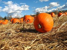 Pumpkin patch in Clearfield County just before Halloween. Love the blue sky!