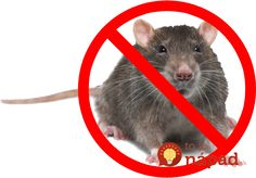 A lot of people resort to mouse-traps to get rid of mice, but have you ever considered natural ways to deter mice? Mice seek out warmth during the winter. How To Deter Mice, Getting Rid Of Mice, Mouse Traps, Prayer For You, Two Men, Rodents, Clean House, Cool Stuff, Nature