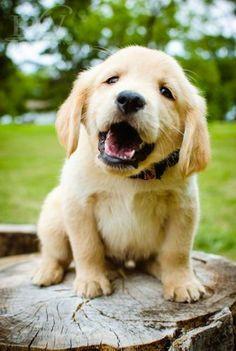 cutie retriever puppy