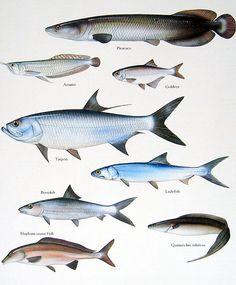 Pirarucu, Tarpon, Ladyfish, Bonefish Vintage 1984 Fish Book Plate. $10.00, via Etsy.